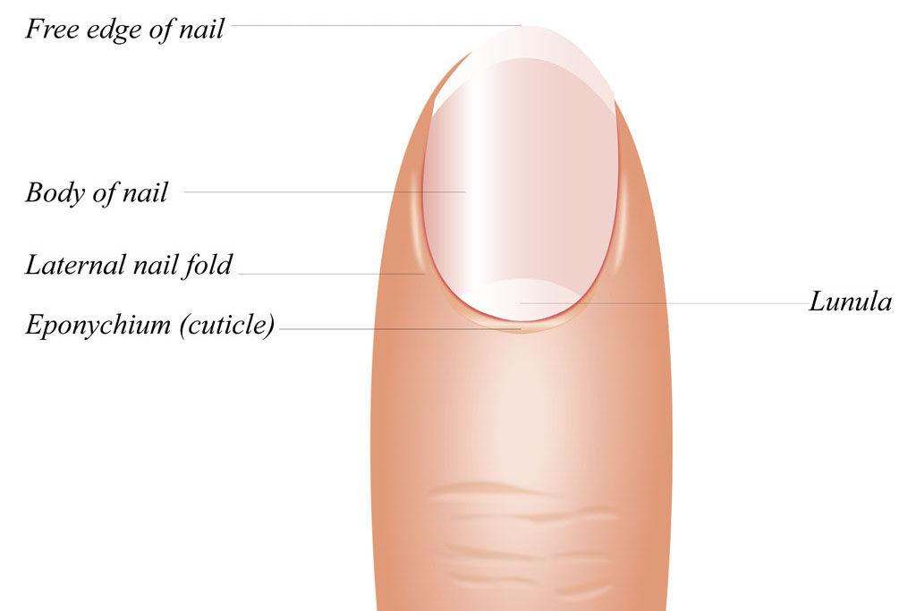 a quoi servent les ongles