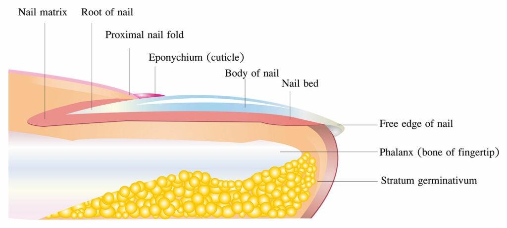 L'anatomie humaine de l'ongle